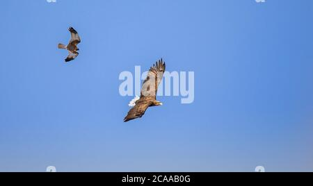 Adult White-tailed eagle in flight.Sky background. Scientific name: Haliaeetus albicilla, also known as the ern, Eurasian sea eagle and white-tailed s - Stock Photo
