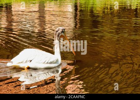 View of an American white pelican swimming in the pond, Pelecanus erythrorhynchos, one of the largest water birds in the world