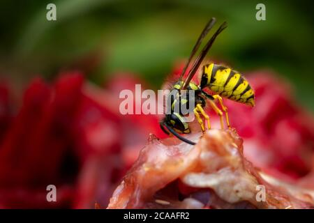 UK wildlife: Male social wasp (Vespula vulgaris) chopping up meat from a rabbit carcass to take back to the nest to feed its carnivorous young. - Stock Photo