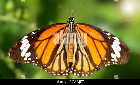 elegant orange monarch butterfly resting on a leaf wings wide open. macro photography of this gracious and fragile Lepidoptera - Stock Photo