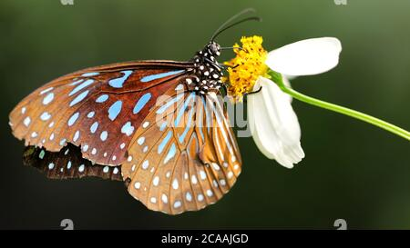 gracious brown and blue colorful butterfly looking for pollen on a white daisy flower, macro photography in a tropical botanical garden in Chiang Mai