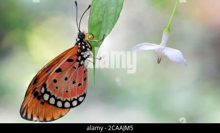 elegant orange monarch butterfly resting on a leaf next to a white flower. macro photography of this gracious and fragile Lepidoptera - Stock Photo