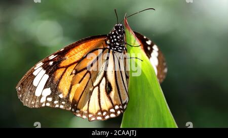 elegant orange monarch butterfly resting on a leaf. macro photography of this gracious and fragile Lepidoptera in a tropical botanical garden