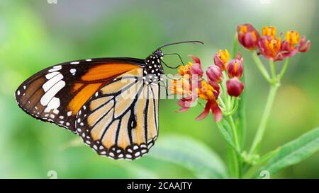 elegant orange monarch butterfly resting on multicolored flowers. macro photography of this gracious and fragile Lepidoptera - Stock Photo