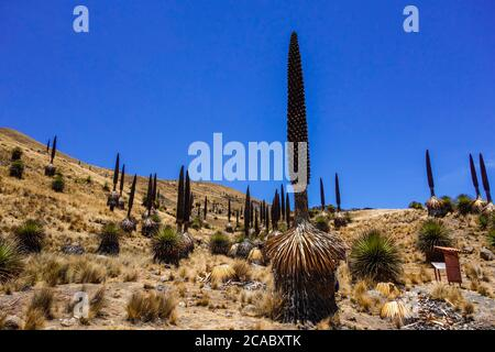 Beautiful view of the Puya Raimondii plants in the Andes, Peru - Stock Photo
