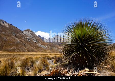 Beautiful view of the Puya Raimondii plant in the Andes, Peru - Stock Photo