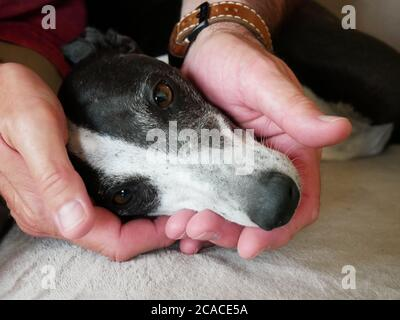 Close-up of the head of a greyhound held in a man's hands. Picture of a touching dog, affectionate and cute dog who wants to cuddle people - Stock Photo