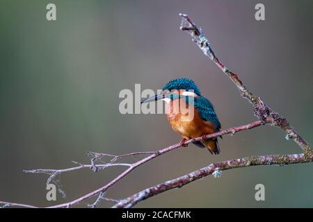 Common Kingfisher on the branch