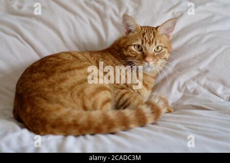 close up one brown tabby cat lying on white quilt. Looking at camera. Blur background - Stock Photo