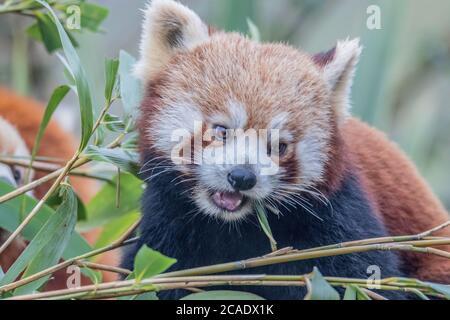 Red Panda Feeding (Ailurus fulgens)