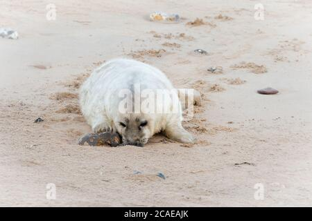 The young grey seal (Halichoerus grypus)  pups spend part of their time playing with rocks and stones on the beach at Horsey - Stock Photo
