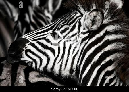 background which the structure of hide of zebra is represented on, the best photo