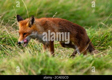 Red Fox hunting in the newly mown hay - Stock Photo