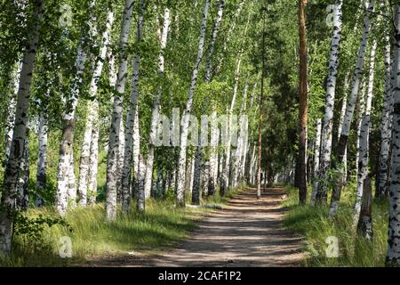 Beautiful birch alley in early spring, Russian landscape with birches, spring birch forest. The horizontal composition. Stock Photo