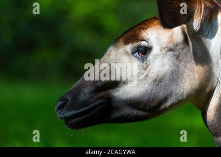 Okapi (Okapia johnstoni), forest giraffe or zebra giraffe - Stock Photo