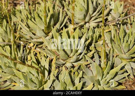 Aloe Vera plant full frame with prickles on display in an Australian garden. - Stock Photo