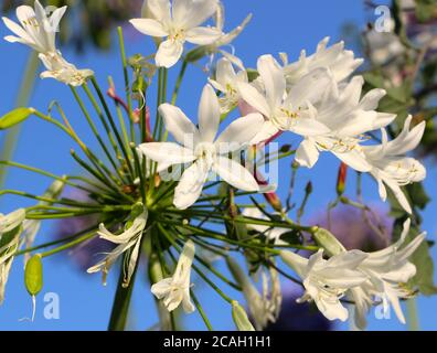 White Agapanthus africanus in sun with green foliage past their best with wilting flower heads in August Santander Cantabria Spain