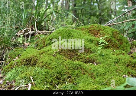 Vivid green moss growing on the small rock in the forest near Uetliberg in Switzerland near tourist path. - Stock Photo