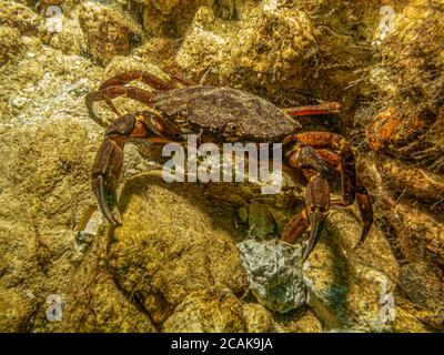 A closeup underwater picture of a crab taking shelter among stones and seaweed. Picture from Oresund, Malmo in southern Sweden.