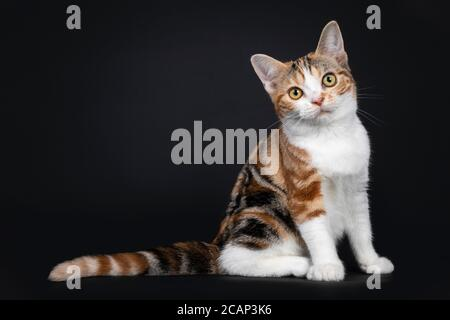 Pretty American Shorthair cat kitten with amazing pattern, sitting side ways. Looking straight at camera with yellow eyes. Isolated on black backgroun