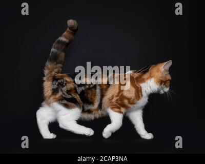 Pretty American Shorthair cat kitten with amazing pattern, walking side ways. Looking straight ahead with yellow eyes. Isolated on black background.