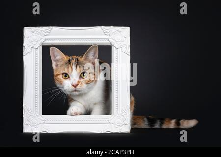 Pretty American Shorthair cat kitten with amazing pattern, stepping through white photo frame. Looking straight at camera with yellow eyes. Isolated o