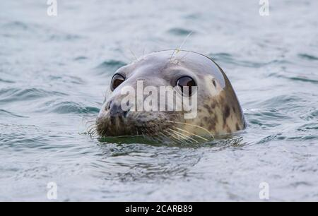 Close-up head of wild female Atlantic grey seal (Halichoerus grypus) surfacing in the sea off the Pembrokeshire coast, UK. - Stock Photo
