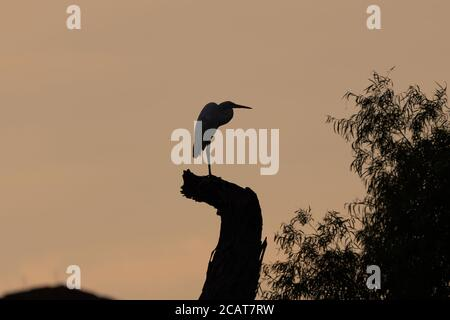 Silhouette of the profile of a Great White Egret standing on a tall tree stump as the warm light of sunrise casts a warm, golden glow in the sky behin Stock Photo