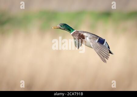 Male Mallard duck in flight coming in to land