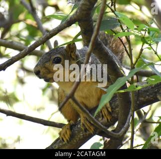 An eastern fox squirrel (Sciurus niger) hides in the trees near Pinto Lake, in Watsonville, California - Stock Photo