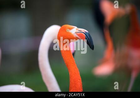 Flamingo bird close-up profile view, beautiful plumage, head, long neg, beak, eye in its surrounding and environment with water background, splashes i