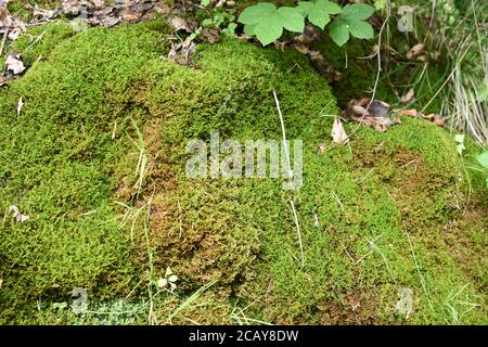 Vivid green moss growing on the small rock in the forest in Switzerland near tourist leading to Uetliberg mountain during summer. - Stock Photo