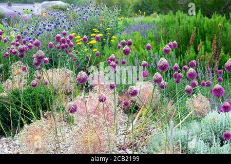 Allium sphaerocephalon allium & vrious alliums flowering at the National Botanic Garden of Wales in Llanarthne Carmarthenshire Wales UK  KATHY DEWITT - Stock Photo