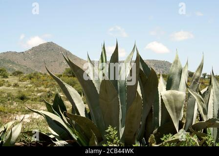 Agave plant and arid Mexican landscape outside the 19th century mining town of Mineral de Pozos, Guanajuato, Mexico Stock Photo