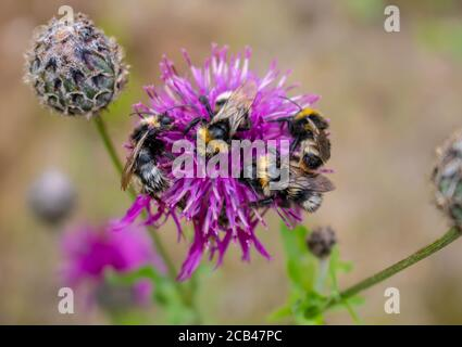 Macro photography of a bumblebee feeding from a red clover flower
