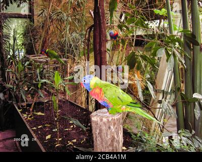 View of five rainbow lorikeets, Trichoglossus moluccanus, a species of parrot found in Australia