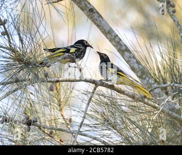 A pair of critically endangered Regent Honeyeaters (Anthochaera phrygia) in NSW Australia - Stock Photo