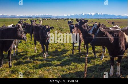 New Zealand Countryside Scenes: Herds of Dairy Cows - Stock Photo