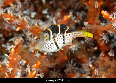 Valentine's Sharpnosed Puffer, also known as a Blacksaddle Toby, Canthigaster valentini. Juvenile color phase. Tulamben, Bali, Indonesia. Bali Sea, In