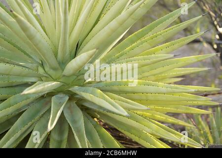 Aloe Vera plant full frame with prickles on display - Stock Photo