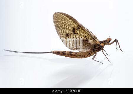 FAUNA: Mantispa styriaca (Mantidfly insect)