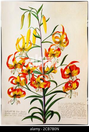 An American Turk's Cap Lily, Lilium superbum, painted by Georg Dionysius Ehret (1708-1770), a German botanist and entomologist known for his botanical illustrations who became one of the most influential European botanical artists of all time. His first illustrations were in collaboration with Carl Linnaeus and George Clifford in 1735-1736. Clifford, a wealthy Dutch banker and governor of the Dutch East India Company was a keen botanist with a large herbarium. - Stock Photo