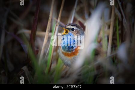 White-spotted bluethroat Luscinia svecica cyanecula on a reed stalk, the best photo