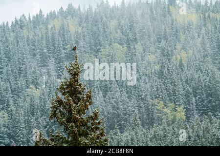 American Robin singing from the tip of a tree with fresh snow, Banff National Park, Alberta, Canada