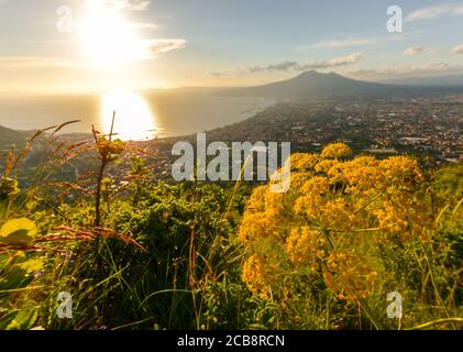 Close up on nice yellow flowers with sunset and vesuvius in background, Naples, Gulf of Naples, South Italy.