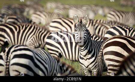 Zebra herd grazing with one adult zebra looking alert straight at camera in Serengeti National Park Tanzania