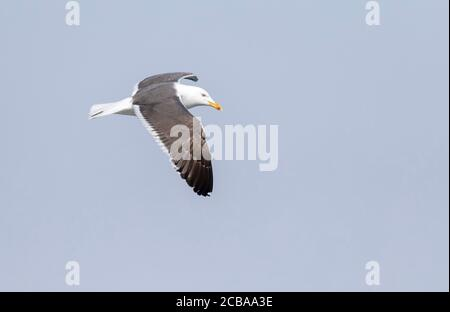lesser black-backed gull (Larus fuscus), Fourth calender year in flight over the North Sea, showing under wing pattern, Netherlands, Texel - Stock Photo