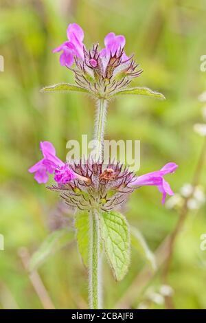 Wild Basil,  (Clinopodium vulgare.) - Stock Photo