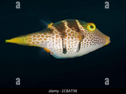 Black-saddled toby, Canthigaster valentini, swimming, Tulamben, Bali, Indonesia,