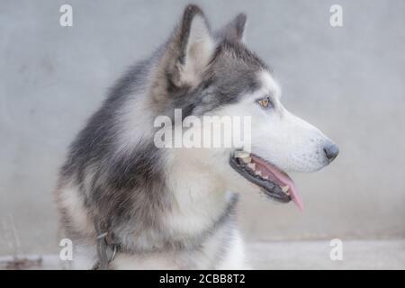 Siberian husky profile face. Selective focus